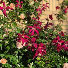 Clematis Florida, Clematis Viticella, Flora, Plants, Red, Clematis Plants, Climbing Vines, Mulches, Dahlias