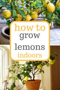 Learn how to grow lemons indoors! Growing Lemons, Growing Lemons Indoors, Indoor Gardening, Indoor Gardening Tips and Tricks(Diy Garden Indoor)