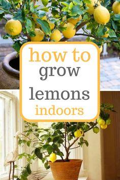 Learn how to grow lemons indoors! Growing Lemons, Growing Lemons Indoors, Indoor Gardening, Indoor Gardening Tips and Tricks(Diy Garden Indoor) Hydroponic Gardening, Container Gardening, Organic Gardening, Indoor Gardening, Urban Gardening, Gardening For Beginners, Gardening Tips, Plantas Indoor, How To Grow Lemon