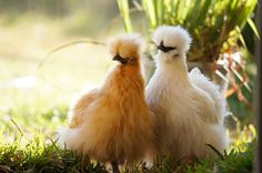 Here are 8 features that make Silkies different from other breeds of chicken. Good information to know before raising Silkie chickens! Bantam Chickens, Pet Chickens, Raising Chickens, Raising Goats, Backyard Poultry, Backyard Chicken Coops, Chickens Backyard, My Pet Chicken, Chicken Animal