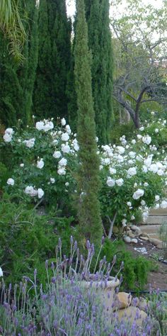 Italian cypress, iceberg roses, lavender Beautiful landscape. **better if more color and movement was added...perhaps some Mexican feather grass or butterfly bushes??