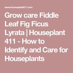 Grow care Fiddle Leaf Fig Ficus Lyrata | Houseplant 411 - How to Identify and Care for Houseplants