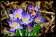 Bee and crocus, Indiana spring