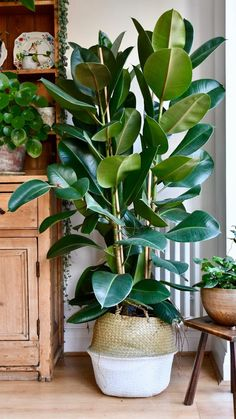 Ficus Elastica, Indoor Garden, Garden Plants, Garden Web, Balcony Garden, Plants For Balcony, Pot Plants, Home And Garden, Container Gardening