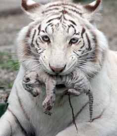 Female white tiger, Tigrylia, carries one of her newborn cubs at  the Skazka Zoo in Yalta, Ukraine.