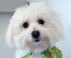 Coton de Tulear- this is the kind of dog that my dog is!
