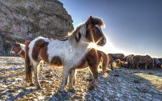 Icelandic Horses by eric vickery on 500px