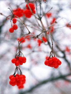 winter berries!