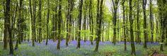Blåklockor skog tapet | Fototapet | Blå | Träd | Blommor HAPPYWALL