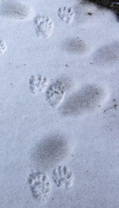 Raccoon Tracks In Snow