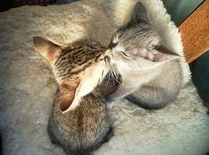 kissing kittens