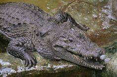 IBN Khabar: थाइलैंड में ऐसा जानवर मिला है, जिसका पूरा शरीर तो भैंस का है और सर मगरमच्छ का।