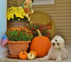 Mums, pumpkins and Bichon