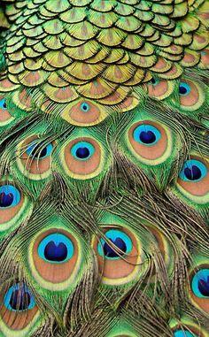 Peacock ♥♥