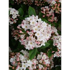 Viburnum x burkwoodii 'Anne Russell' from Thompson & Morgan - experts in the garden since 1855 Summer House Garden, Winter Garden, Small Garden Shrubs, Deer Proof Plants, Plants Delivered, Garden Compost, Gardening, Winter Plants, Planting Plan