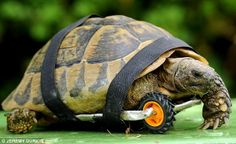 Up to speed: Tuly the tortoise is now faster than all her friends after having a wheel fitted to replace a leg after a rat gnawed it off whi...