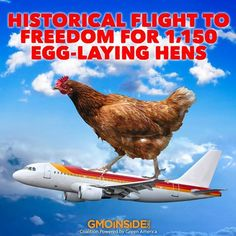 Historical FLight To Freedom For 1,150 Egg Laying Hens. More Here: http://www.onegreenplanet.org/news/a-historical-flight-to-freedom-for-1150-egg-laying-hens/