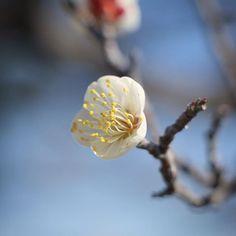 大阪城公園 梅林の一重野梅 White plum blossom Osaka Castle #flowers #flower #plum #plumblossom  #白梅 #一重野梅 #花 #マクロ撮影 #大阪城公園 #大阪城梅林