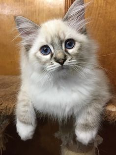 Welcome to Genotype Cats - Ragdoll Cats Ragdoll Cat Breed, Cat Breeds, Kittens Cutest, Rage, Fur Babies, Kitty, Shop, Animals, Humor