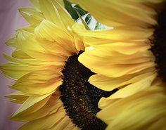 https://flic.kr/p/r1LJ1r   2014-08-15 Sunflowers   Layered