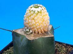 1755. Pelecyphora valdeziana 'Variegata' / rare cactus カクタス ariocarpus haworthia