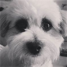 Havent had a black and white close up for a while.  happy bank holiday  #blackandwhite #closeup #maltese #toypoodle #petoftheday #instapet #instadog #woof #teddy #maltipoosofinstagram #maltipoolovers #maltepoo #maltipoosofig #han