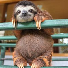 ..Esperando el Viernes!  #savetheplanet#waitingforfriday#sloth#animals#iloveanimals#amoranimal#pereza#esperandoelviernes#viernes#protectallanimals#saveourplanet by dankroftk9