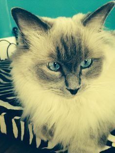 Dasher Ragdoll Cat