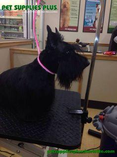 A great Scottie cut by Katie. Pet Supplies Plus, Scottie, Dog Grooming, Charlotte, Puppies, Pets, Animals, Pet Supplies, Scottie Dog