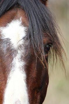 Major KH. Kaimanawa stallion