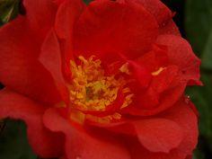 Cinco De Mayo Rosa or Rose Photograph Taken 06/22/2011 Minnesota Landscape Arboretum Rose Garden