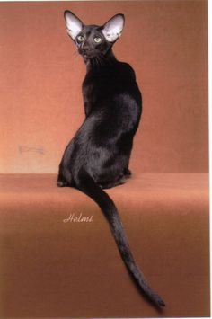 Best of Siamese Cat pictures. I Love Cats, Cool Cats, Siamese Cats, Cats And Kittens, Oriental Cat Breeds, Oriental Shorthair Cats, Here Kitty Kitty, Domestic Cat, Sphynx