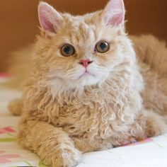 Selkirk Rex Cat, originally from United States, is a medium sized, medium coated cat breed The Selkirk Rex Cats are said to have quite the personality are often loving, patient, and playful.