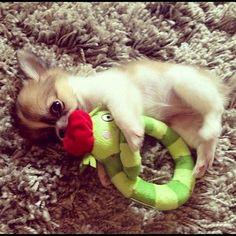 Chihuahua loves her binkie