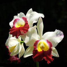 Cattleya Orchid, Phuket island, Thailand.