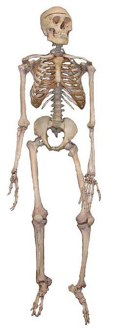 Ανθρώπινος σκελετός - Βικιπαίδεια