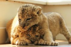 Cute Animals Images, Pretty Animals, Cute Baby Animals, Animals Beautiful, Funny Animals, Cute Tiger Cubs, Cute Tigers, Big Cats, Cats And Kittens