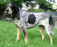 Blue Tick Coonhound breed is a result of crossbreeding between the English Foxhound, American Foxhound, the Bleu de Gascogne Hound and the Balck and Tan Virginia Foxhound.