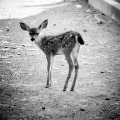 deer, black and white photography, adorable
