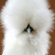 Fluffy chicken