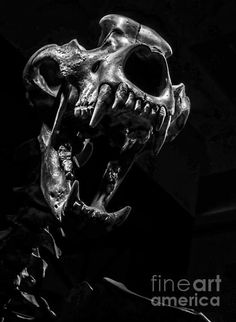 Bear Skull - photograph by James Aiken A beautiful and menacing bear skull looks out of the frame in an attacking gesture with the direct and dramatic lighting of a portrait via Bear Skull, Dog Skull, Skull Art, Bear Paw Tattoos, Crane, Skull Reference, Skull Model, Animal Bones, Sad Art
