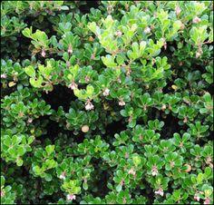 Arctostaphylos uva-ursi 'Woods Compact'