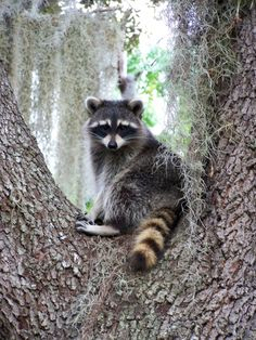 My dad used to hand feed the raccoons in his backyard.