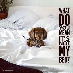 "14 Likes, 2 Comments - Dachshund Quotes & Pictures (@mydachshundfamily) on Instagram: ""All yours... . @shantiandpoe"""