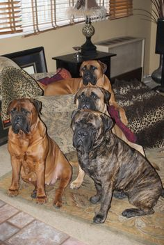 Omg they are gorgeous! I want a bull mastiff farm lol