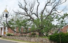 ** HARBINGER?** The ' Holy Oak' The Oldest White Oak Tree In The U.S, Is Mysteriously Dying**