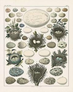 Oken Natural History Bird Nest & Egg