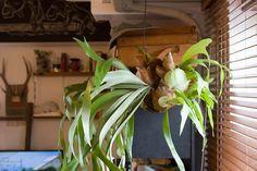 窓際にコウモリランをハンギング。「環境が合っているのか、新芽がどんどん出てきてとても元気よく育ってます」