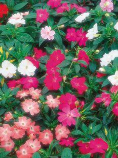 #Shade Gardening New Guinea Impatiens thrive in shade.