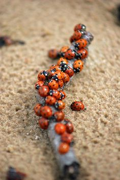 Ladybugs on Jurmala beach - Coccinellidae - Wikipedia, the free encyclopedia Lady Bug, She's A Lady, Lady In Red, Bird Lady, Small Insects, Bugs And Insects, A Bug's Life, Little Critter, Love Bugs